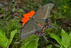 蝴蝶(Papilio maackii) 12 免版税库存照片
