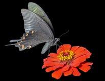 蝴蝶(Papilio maackii) 17 库存图片