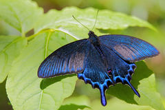 Papilio maackii. Alpine black swallowtail. Butterfly. Royalty Free Stock Images