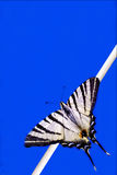 Papilio Macaone  on a branch in blue Royalty Free Stock Images