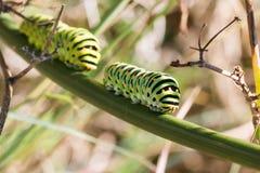Papilio machaon毛虫 库存照片