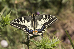 Papilio machaon,从意大利的Swallowtail蝴蝶 免版税库存照片