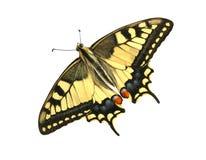 papilio machaon бабочки Стоковые Изображения