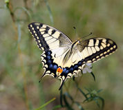 Papilio machaon Stock Image