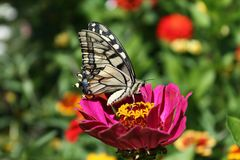Papilio machaon Royaltyfria Bilder