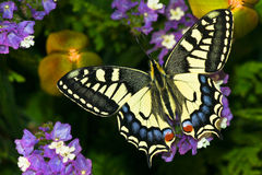 Papilio Machaon Royalty-vrije Stock Fotografie