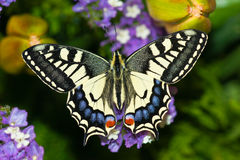 Papilio Machaon. Newborn, spreading her wings Royalty Free Stock Photo