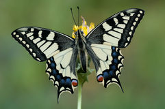 Papilio machaon. A young Papilio machaon on a yellow flower stock photography