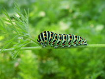 Papilio machaon Stockbilder