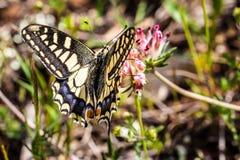 Papilio Machaon Стоковая Фотография RF