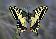 Papilio machaon Stockfoto
