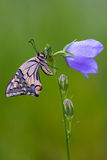 Papilio machaon Royalty Free Stock Photo
