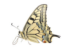 Papilio Machaon butterfly Royalty Free Stock Photo