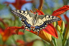 Papilio Machaon butterfly Stock Images