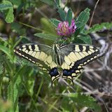 Papilio machaon. Butterfly feeding on flowers. Butterfly Papilio machaon feeding on flower royalty free stock photography
