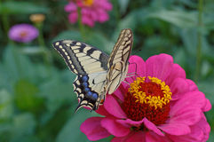 Papilio Machaon butterfly Stock Photography