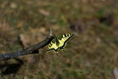 Papilio machaon butterfly sitting close-up royalty free stock images