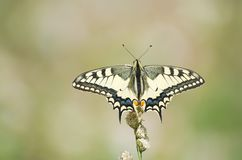 Papilio Machaon Butterfly Stock Image
