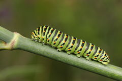 Papilio machaon caterpillar. Over a green plant stalk with a green background Stock Image