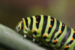 Papilio machaon caterpillar Stock Photo