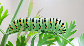 Papilio machaon caterpillar butterfly. Macro view green insect eating carrot leaves. Royalty Free Stock Photography