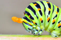 Papilio machaon caterpillar Royalty Free Stock Photos