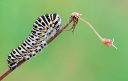 Papilio machaon caterpillar Stock Photography