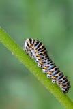 Papilio machaon caterpillar Stock Photography