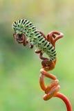 Papilio machaon caterpillar Stock Photos