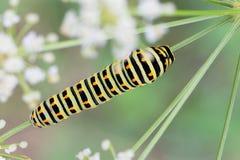 Papilio machaon caterpillar Royalty Free Stock Photography