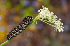 Papilio machaon caterpillar Stock Photo