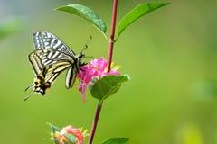 Papilio machaon Royalty Free Stock Image