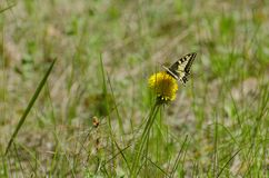 Papilio Machaon At Dandelion stock photography