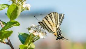 Papilio machaon, den gamla världen eller gemensam gul swallowtail, är en fjäril av familjen Papilionidae arkivbilder