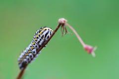 Papilio machaon gąsienica Zdjęcie Royalty Free