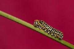 Papilio machaon larva Stock Image