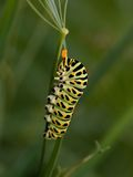 Papilio machaon larva Royalty Free Stock Photos