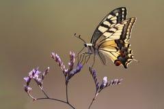 Papilio Machaon, mariposa de Swallowtail Imágenes de archivo libres de regalías