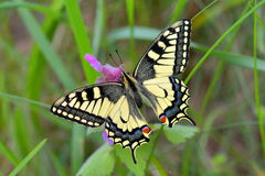 Papilio machaon. The Old World swallowtail, is a butterfly of the family Papilionidae Royalty Free Stock Photography