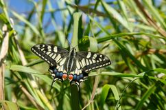 The common yellow swallowtail butterfly. Papilio machaon, the Old World swallowtail, is a butterfly of the family Papilionidae. The butterfly is also known as stock image