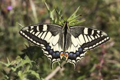 Papilio machaon, Old world Swallowtail butterfly from Italy Stock Photography