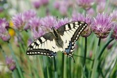 Papilio machaon op bieslookbloem stock afbeeldingen