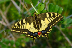 Papilio Machaon (Papilionidae) - Swallotail. Macaone. This butterfly has a unique and showy yellow and black livery. The rear wings have long Stock Photo