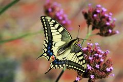 Big butterfly Papilio machaon for the Queen`s page butterfly Royalty Free Stock Photos