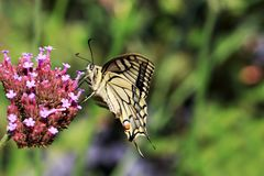 Big butterfly Papilio machaon for the Queen& x27;s page butterfly seen with the wings of the side Stock Images