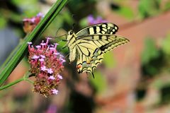 Papilio machaon or the Queen`s page s a Pretty rare butterfly Royalty Free Stock Photos