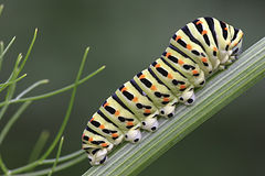 Papilio machaon's caterpillar Royalty Free Stock Photos