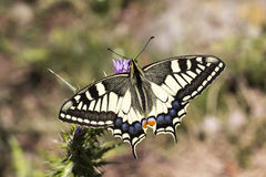Papilio machaon, Schwalbenschwanz - Papilio machaon, Swallowtail butterfly from Italy Stock Photography