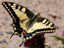 Papilio Machaon, Swallowtail Basisrecheneinheit Lizenzfreies Stockfoto