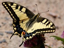 Papilio Machaon, Swallowtail Butterfly. A close up of a beautiful Swallowtail butterfly (Papilio Machaon), possibly female, feeding on Trifolium medium Royalty Free Stock Photo
